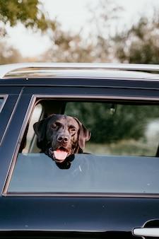 Hermoso labrador negro en un coche listo para viajar. fondo de la ciudad mirando por la ventana al atardecer. concepto de viaje