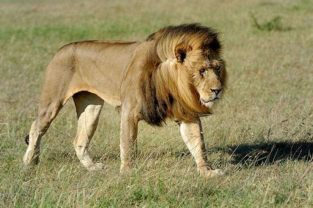 Hermoso león césar en la hierba de masai mara, kenia