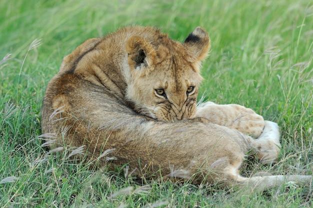 Hermoso león en la hierba de masai mara, kenia