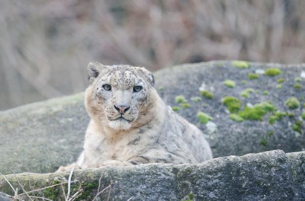 Hermoso leopardo de las nieves tumbado en una roca