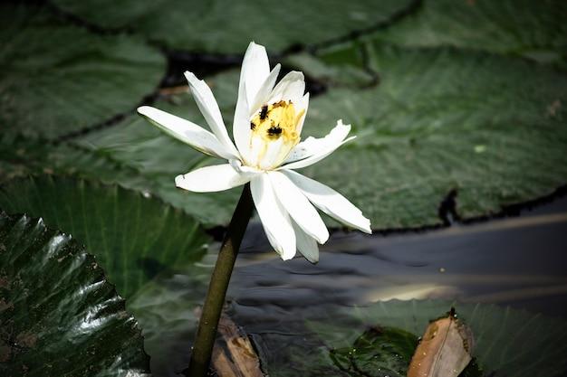 Hermoso lirio de agua floreciente