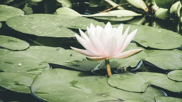 Hermoso lirio de agua rosa y hojas verdes en un río en el parque