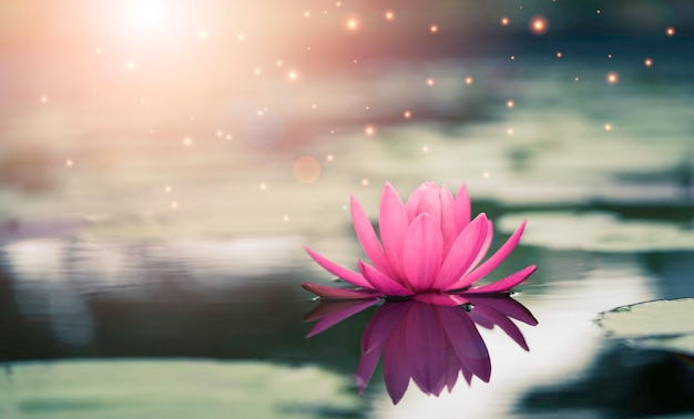 Hermoso lirio de agua rosa o loto con luz solar en el estanque.