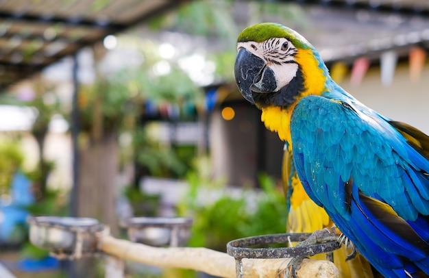 Hermoso loro está comiendo comida de aves en la granja. foco selectivo del guacamayo azul.