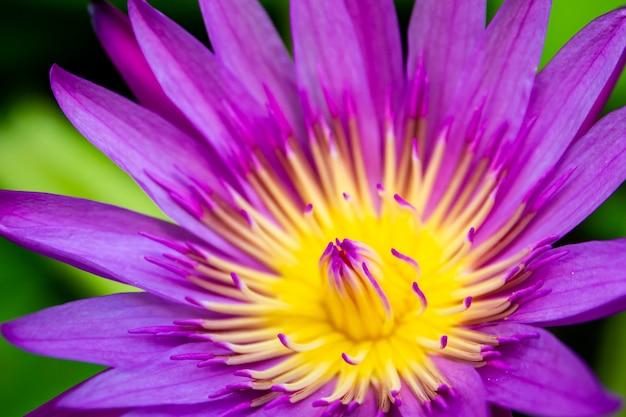 Hermoso loto amarillo y azul de cerca. cierre natural de la flor de loto del agua de tha para arriba en escena borrosa del verde de la naturaleza.