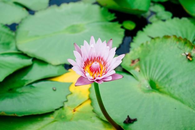 Hermoso loto en la piscina