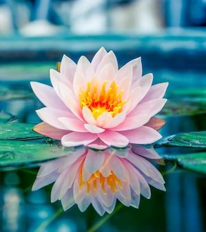 Hermoso loto rosa, planta de agua con reflejo en un estanque