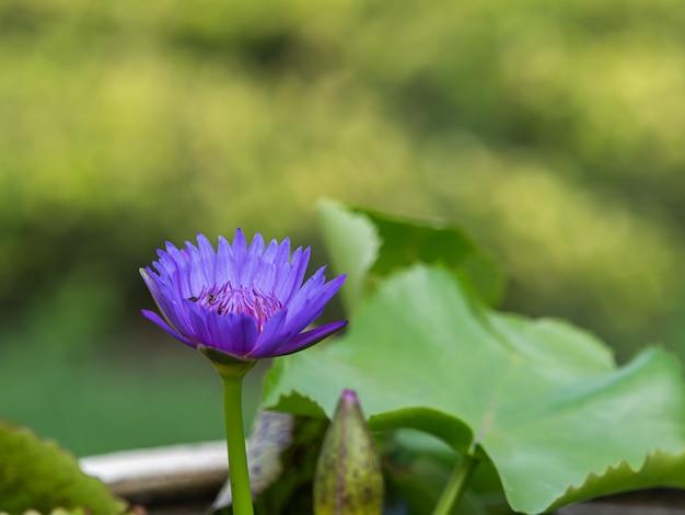 Hermoso loto violeta florece en estanque borroso