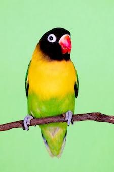 Hermoso lovebird en una rama