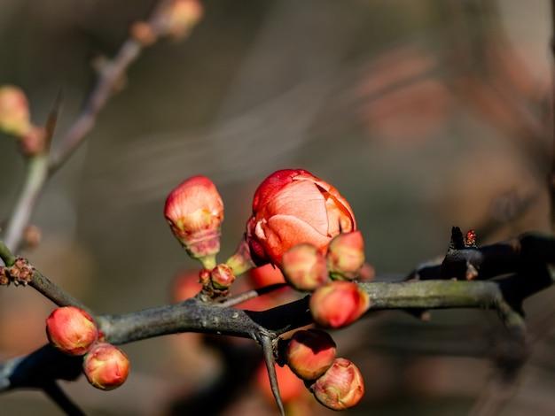 Hermoso membrillo chino en el bosque de izumi