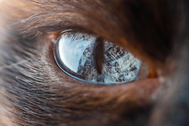 Hermoso ojo de macro gato siamés doméstico