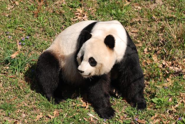 Hermoso oso panda gigante sentado.