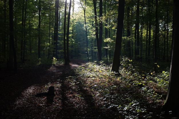 Hermoso paisaje de altos árboles verdes en el bosque con los rayos del sol durante el día