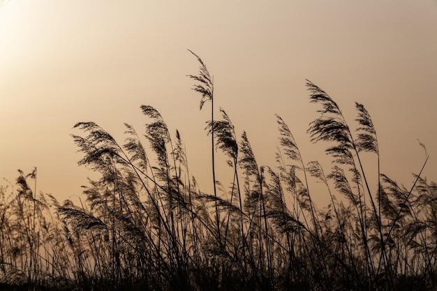 Hermoso paisaje de cañas moviéndose hacia el viento en medio de un campo durante el atardecer.