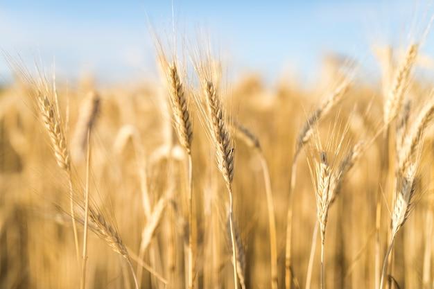 Hermoso paisaje con especias de trigo