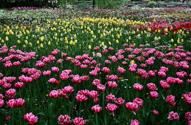 Hermoso paisaje de flores de tulipán de sprenger que florecen en la isla de mainau - bodensee