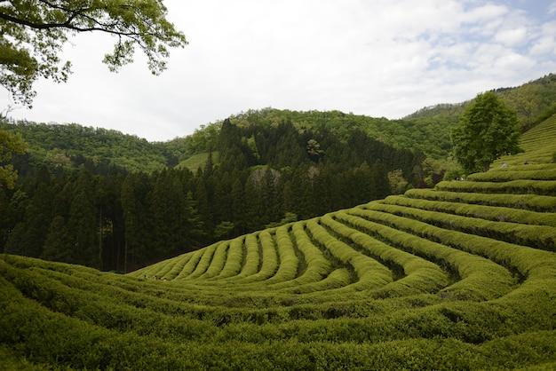 Hermoso paisaje de una granja de té verde en bosung durante el día