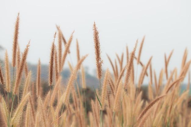 Hermoso paisaje de la naturaleza - closeup hermosas flores de hierba en la naturaleza durante el día.