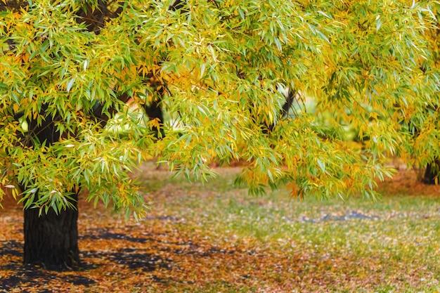 Hermoso paisaje otoñal con árboles amarillos, sauce y luz solar