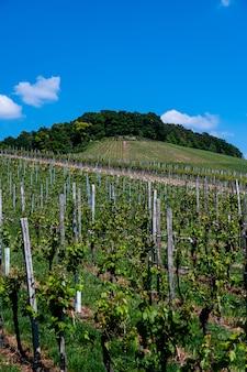 Hermoso paisaje de un viñedo bajo un cielo azul claro durante el día