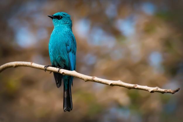 Hermoso pájaro azul verditer flycatcher