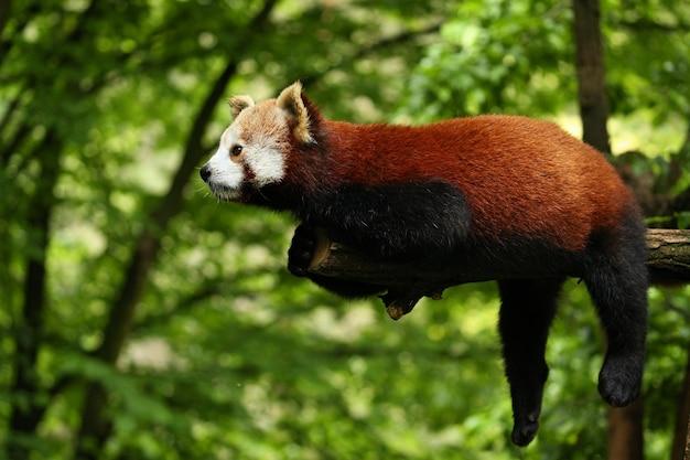 Hermoso panda rojo en peligro de extinción en un árbol verde