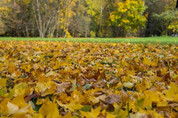 Hermoso parque de otoño con hojas amarillas caídas del árbol y la hierba verde en el fondo. escena de belleza natural en la temporada de otoño. parque de otoño en bielorrusia