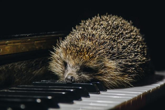 Un hermoso pequeño erizo gris se sienta en las teclas del piano. tocar el piano. escuela de música, concepto educativo, principio de año, creatividad. instrumento musical, clásico, melodía. bozal de primer plano.