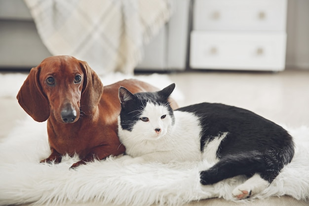 Hermoso perro gato y perro salchicha en alfombra, interior