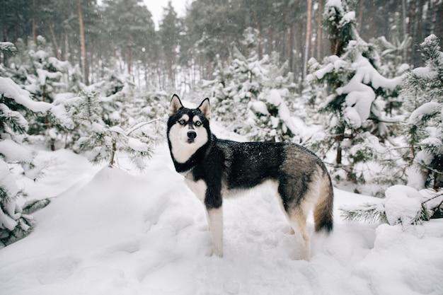 Hermoso perro husky siberiano caminando en el bosque de pinos de invierno cubierto de nieve