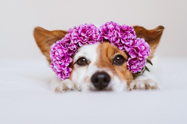 Hermoso perro jack russell en casa con una corona de flores de color púrpura. concepto de primavera y estilo de vida