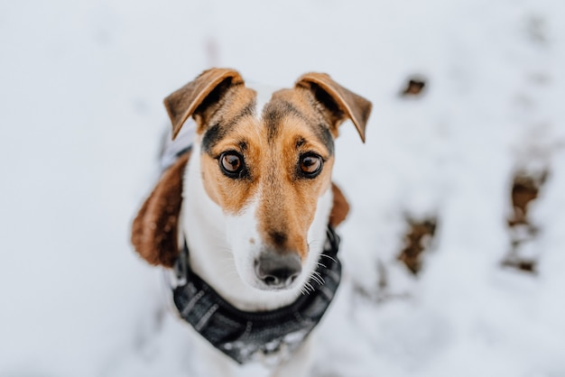 Hermoso perro jack russell terrier