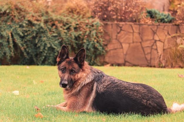 Hermoso perro pastor alemán inteligente