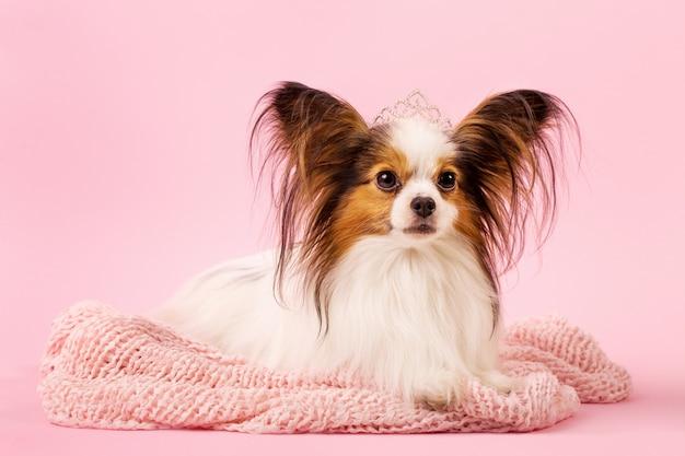 Hermoso perro raza papillon
