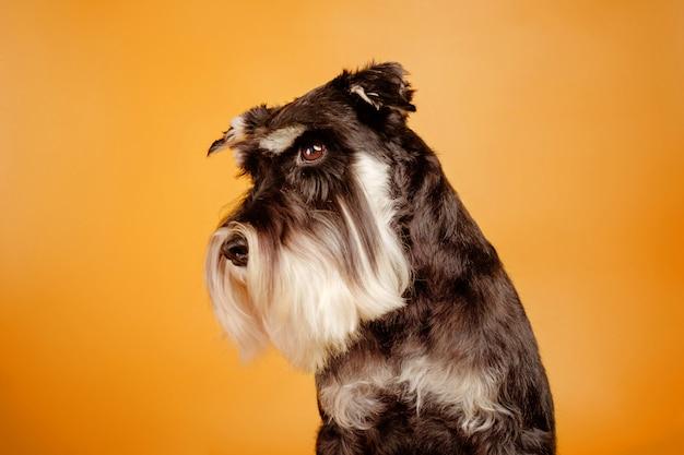 Hermoso perro schnauzer miniatura en pared naranja