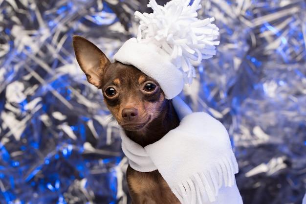 Hermoso perro en un sombrero blanco y bufanda. terrier de juguete ruso en nochebuena