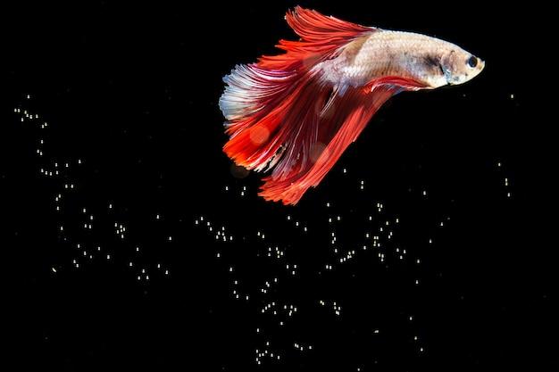 Hermoso pez betta aislado fondo negro y burbujas