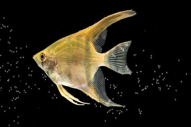 Hermoso pez betta amarillo aislado fondo negro y burbujas