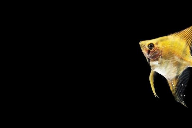 Hermoso pez betta amarillo aislado fondo negro