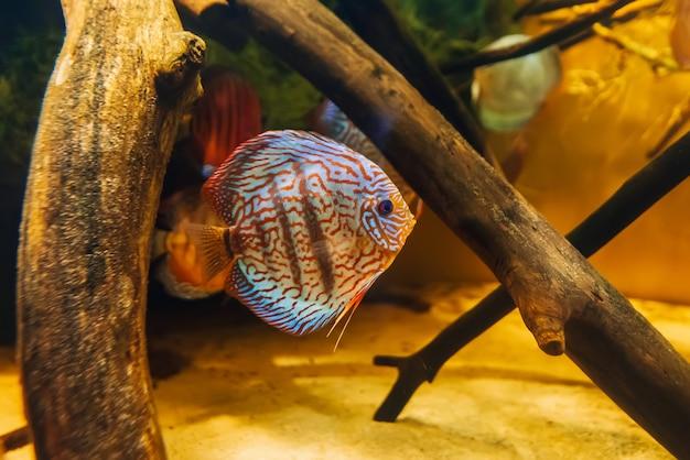 Hermoso pez disco symphysodon aequifasciata axelrodi nadar bajo el agua