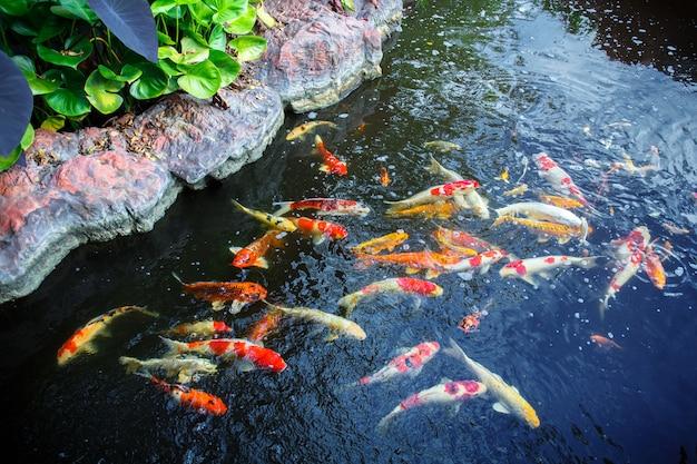 Hermoso pez koi en el estanque