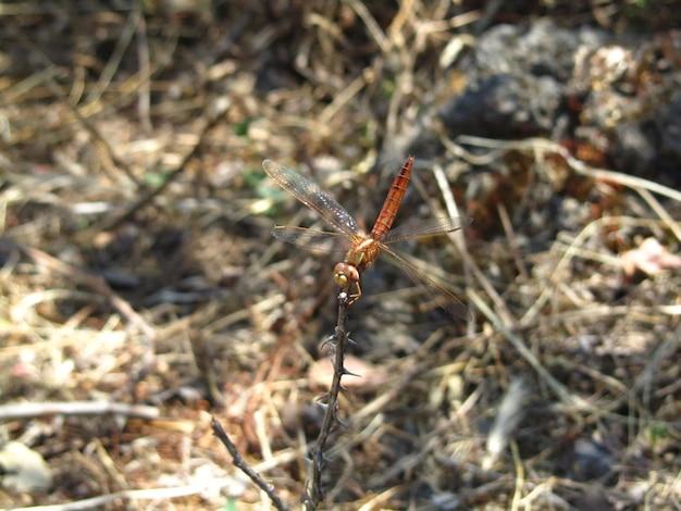 Hermoso primer plano de un insecto libélula descansando sobre una ramita y estirando sus alas