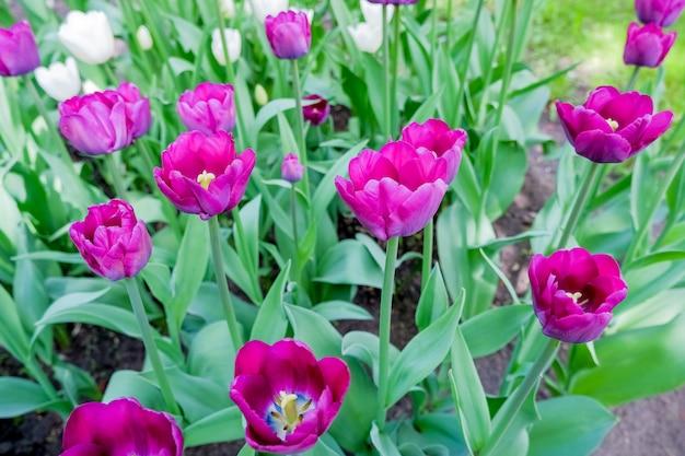 Hermoso primer plano tulipanes morados macizo de flores. hermoso fondo de pantalla floral natural de la bandera. tulipanes en flor. tulipán en flor, macizo de flores de primavera