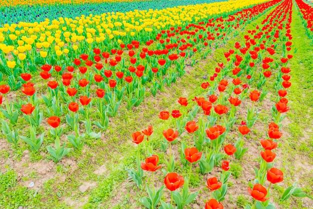 Hermoso ramo de tulipanes en la temporada de primavera.