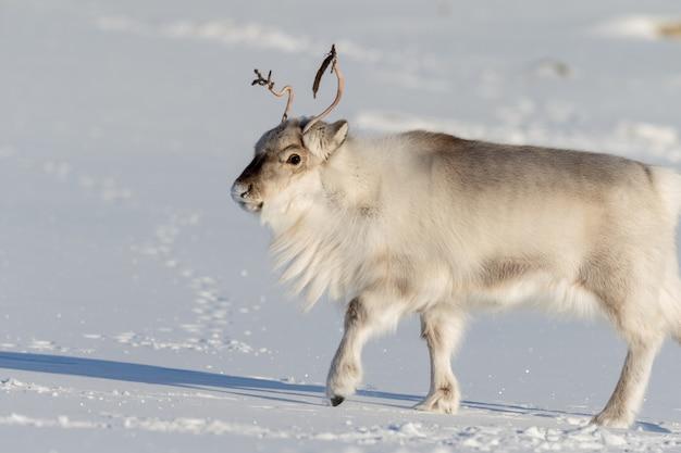Hermoso reno caminando sobre la nieve blanca en svalbard, noruega