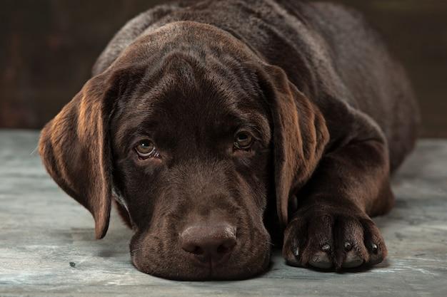 Hermoso retrato de un cachorro labrador retriever de chocolate