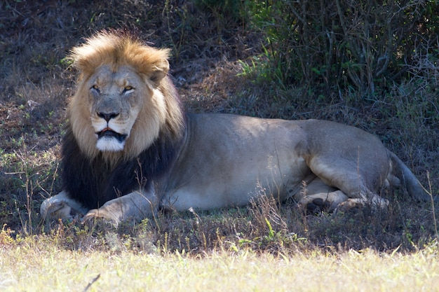 Hermoso retrato de un león africano tendido en un campo seco