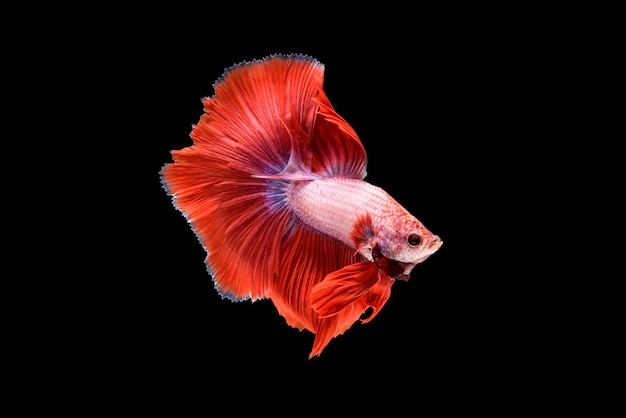 Hermoso rojo betta splendens, pez luchador siamés o pla-kad en peces populares tailandeses en acuario