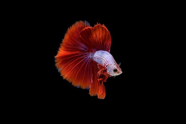 Hermoso rojo y blanco betta splendens, pez luchador siamés o pla-kad en peces populares tailandeses en acuario