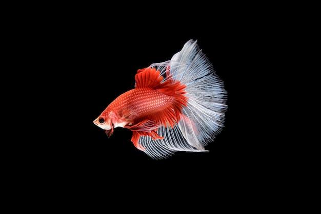 Hermoso rojo y blanco betta splendens, pez luchador siamés o plakat en el popular pez tailandés en el acuario es una mascota ornamental húmeda.